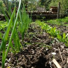 Zwiebeln und Spinat vor dem Holzstoß für den nächsten Winter
