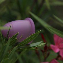 Menstruationstasse steckt in Oleanderpflanze.