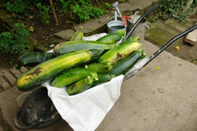 Große Zucchini in einer Schubkarre