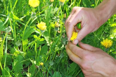 Foto von Lisas Händen beim Löwenzahnblüten ernten