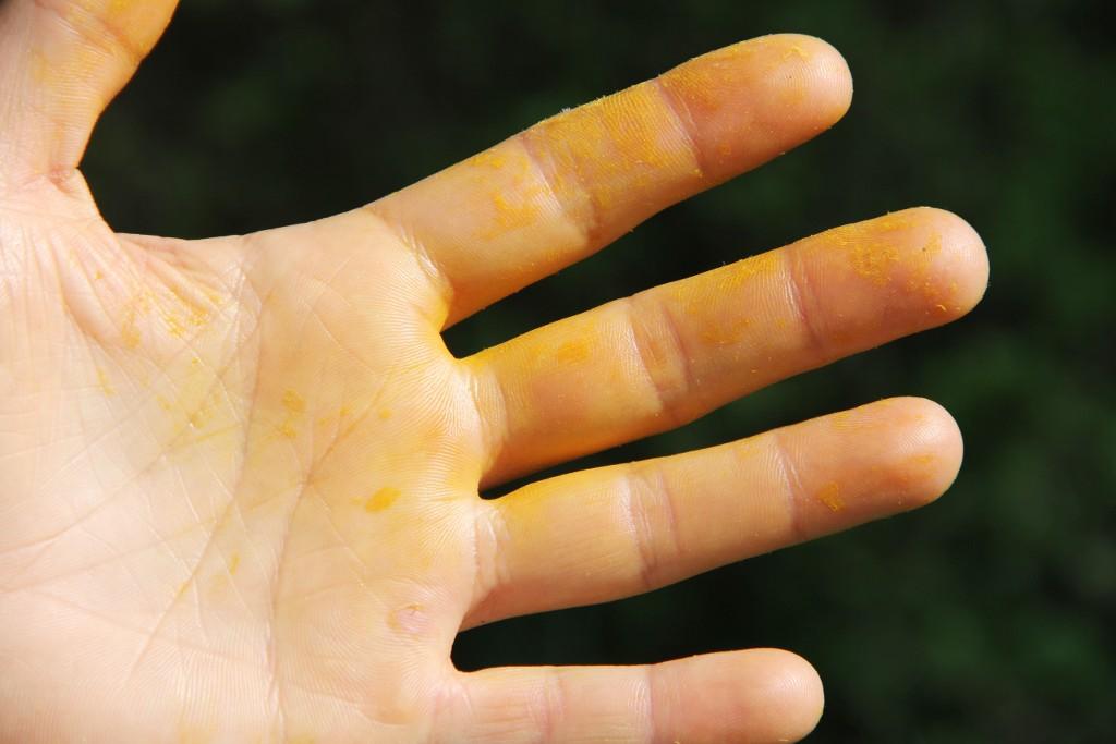 Detailaufnahme einer Hand voller gelben Blütenstaub des Löwenzahns