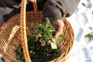 Wildkräuter sammeln im Winter 4