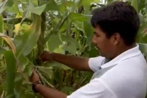 """Foto eines Bauern in seinem Feld, in dem er mit der Methode """"Milpa"""" Bohnen, Mais und Kürbisse auf einem Feld anbaut"""
