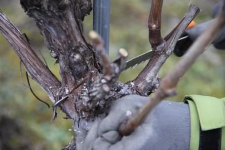 Wenn ein Weinstock zu verwachsen ist und damit zu hoch wird, darf auch mal radikal mit der Baumsäge drangegangen werden!