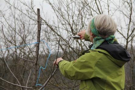 Äste leicht nach oben binden (Beispiel Nussbaum)
