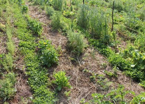 Ein solches Mischkultursystem ist ökologisch und für den Boden gut - aber nicht mit großen Maschinen umsetzbar.