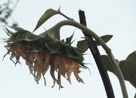 Foto einer verwelkenden Sonnenblume und dem Schriftzug: Heute ist Earth Overshoot-Day, 20. August 2013, experimentselbstversorgung.net