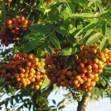 Foto von leuchtend orangenen Ebereschenfrüchten.