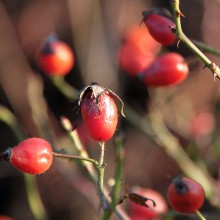 Foto von reifen, roten Hagebuttenfrüchten.