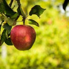 Foto eines rotbackigen Apfels auf einem Baum