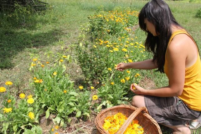 Foto von Lisa beim Ringelblumen sammeln