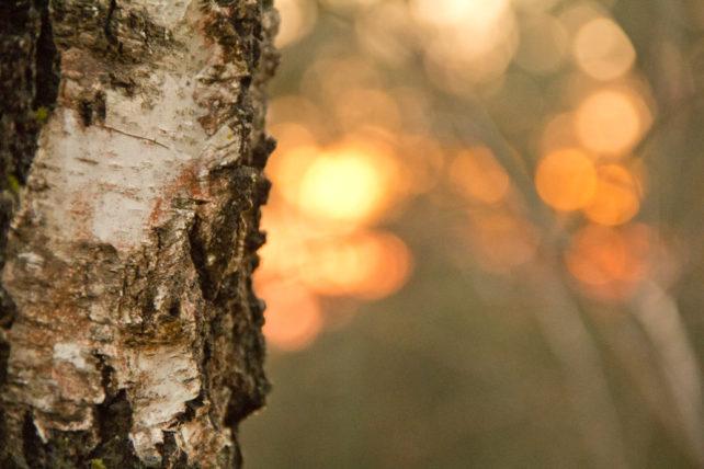 Foto einer Birkenrinde im Sonnenuntergang