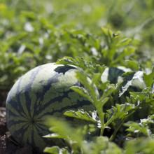 Foto einer Melone auf dem Feld