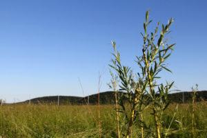 Foto einer austreibenden Weidenrute
