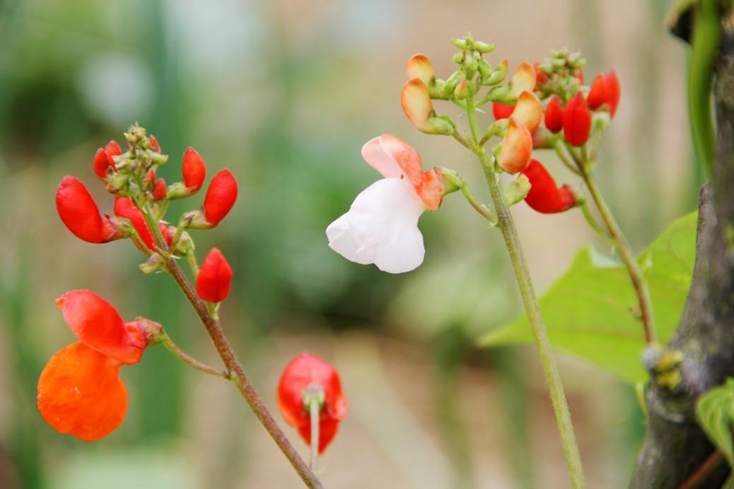Foto von roten Feuerbohnenblüten