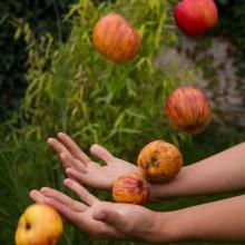Fotos von Äpfeln, die in die Luft geworfen werden.