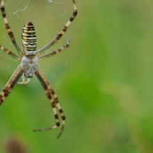 Foto einer getigerten Spinne in ihrem Netz
