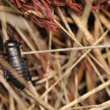 Foto einer Ödlandschrecke im Heumulch