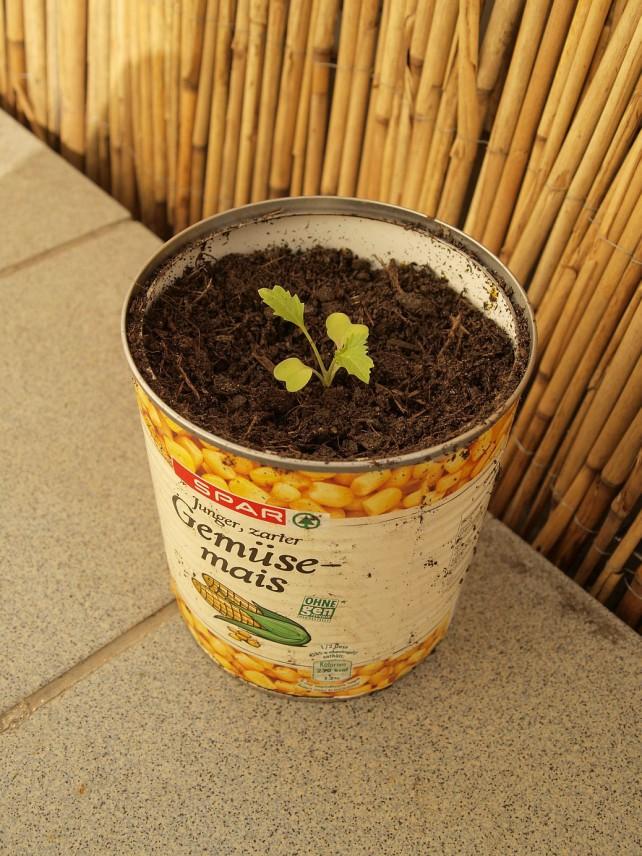 Foto eines Asia-Salates in einer mit Erde gefüllten Dose