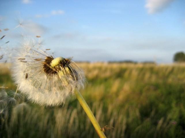 Foto einer Pusteblume, der gerade Samen weggeblasen werden.