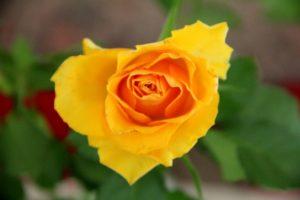 Foto von einer gelben Rose.