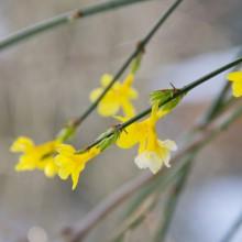 Gelbe Blüten, die von einem Strauch hängen.