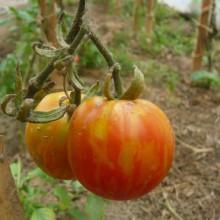 Foto von Tomaten