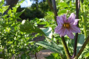 Foto einer Auberginen-Blüte