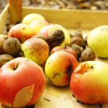 Selbst gepflückte Äpfel und Nüsse.