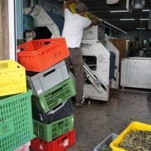 Mann schüttet Uhudlertrauben in die Presse. Dahinter stapeln sich leere Plastikisten.