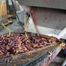 Der Traubenpresskuchen wird aus der Maschine abtransportiert.