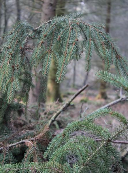Tannenzweige im Wald