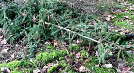 abgefallene Tannenzweige im Wald