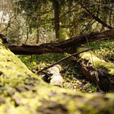 Im Bärlauchmärchenwald