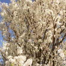 Wunderbar duftende Kirschblüten