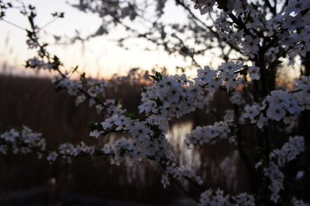 Blühender Kirschbaum am Neusiedlersee