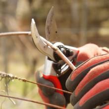 Foto einer Rebschere, die gerade eine Weinroute durchtrennt
