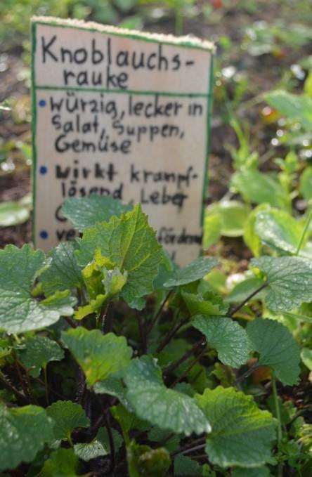 Wildkräuter im Vorgarten, hier: Knoblauchrauke mit Beschilderung