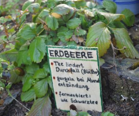 Wildkräuter im Vorgarten, hier: Wald-Erdbeere mit Beschilderung