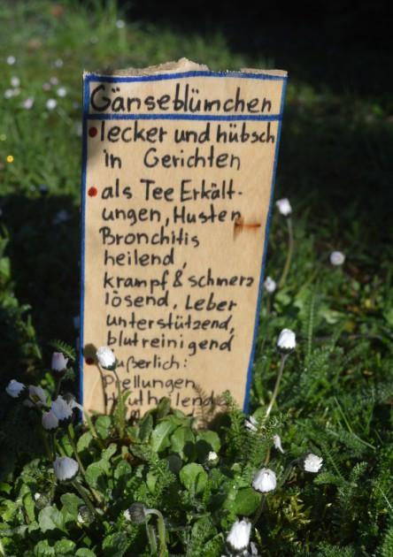 Wildkräuter im Vorgarten, hier: Gänseblümchen mit Beschilderung
