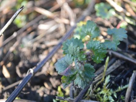 Wildkräuter im Garten, hier zu sehen:Gundermann