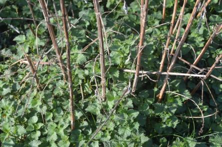 Wildkräuter sprießen: Junge Brennnesseln kommen unter den alten Beständen hervor