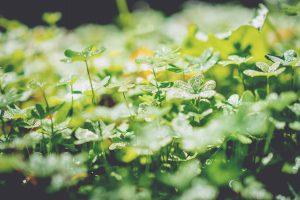 eine Sammlung Kleepflanzen in der Sonne
