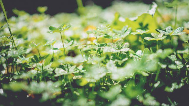 eine Sammlung Kleepflanzen in der Sonne, Symbol fürs glücklich sein