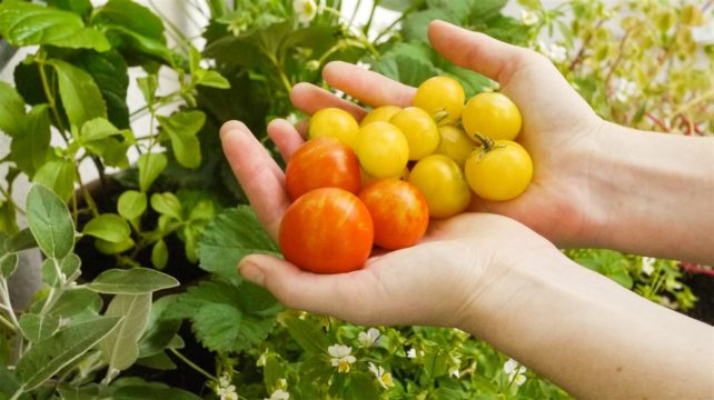 Foto aus dem Buch Bio-Gärtnern am Fensterbrett - Tomatenernte