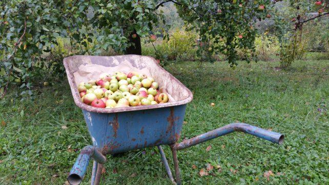 Foto von zahlreichen Äpfeln in einer hellblauen Schubkarre